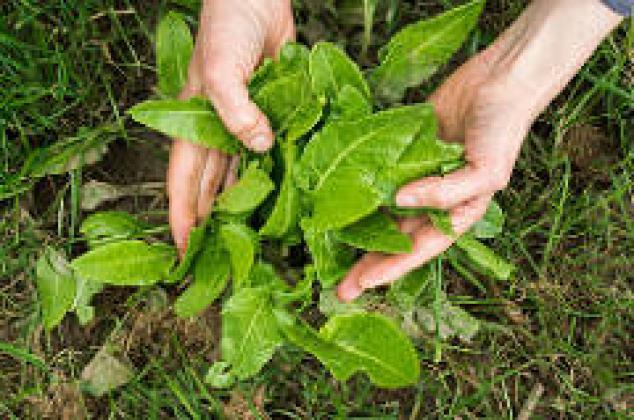 Atelier reconnaissance des plantes sauvages comestibles le 29 octobre 2021